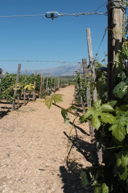 Wineyard on Crete